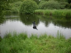 flyvende labrador 1